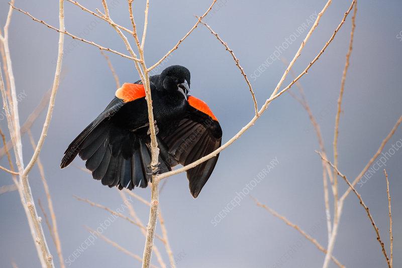 Red Winged Blackbird Displaying