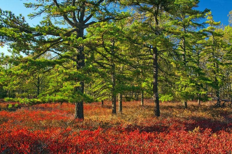 Pitch Pine Heath Barren