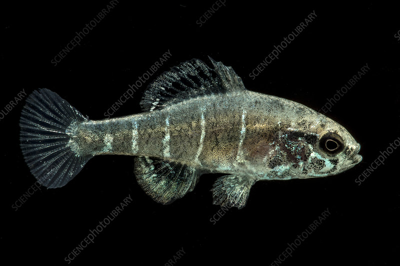Critically Endangered Spring Pygmy Sunfish