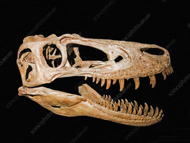 Skull of a young Tyrannosaurus Rex