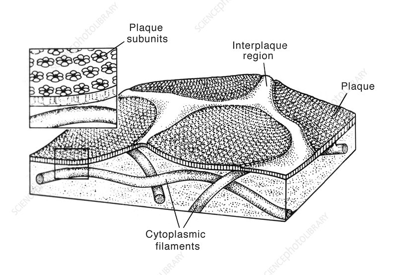 Mammalian Bladder Epithelium, Illustration