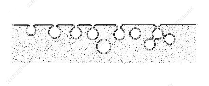 Pinocytosis, Illustration
