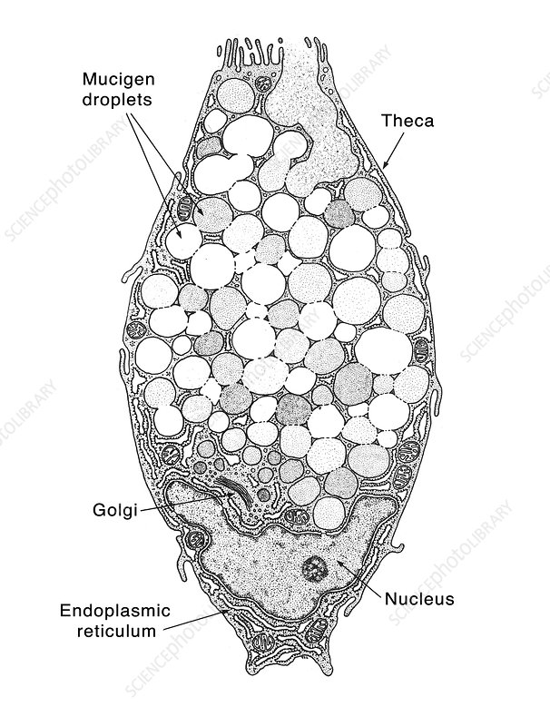 Intestinal Goblet Cell, Labelled