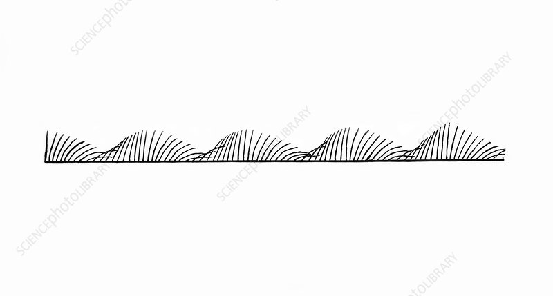 Cilia in Metachronal Wave, Illustration