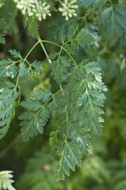 Poison Hemlock (Conium maculatum)