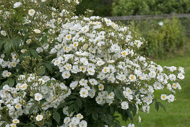 Rambling Rector rose flowers