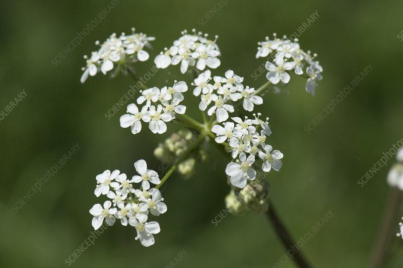 Cow parsley flower