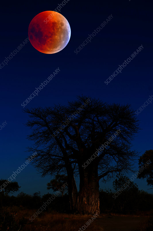 Total Lunar Eclipse and Baobab Tree