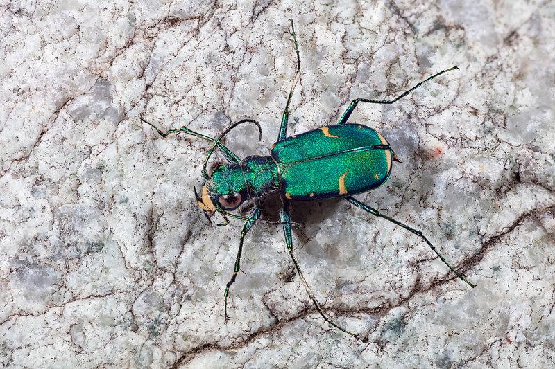 Green Claybank Tiger beetle