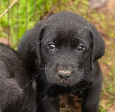 Labrador Retriever Puppies Keyword