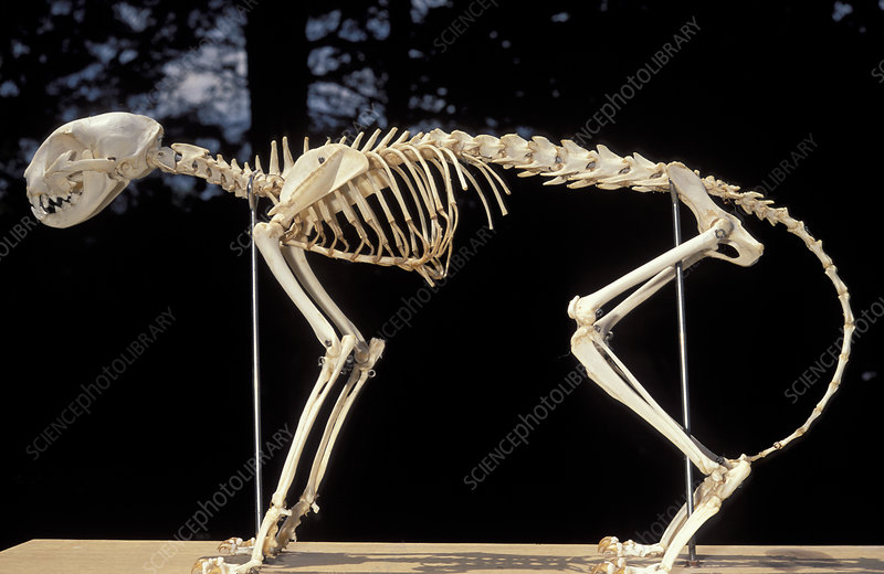 Skeleton of a Domestic Cat