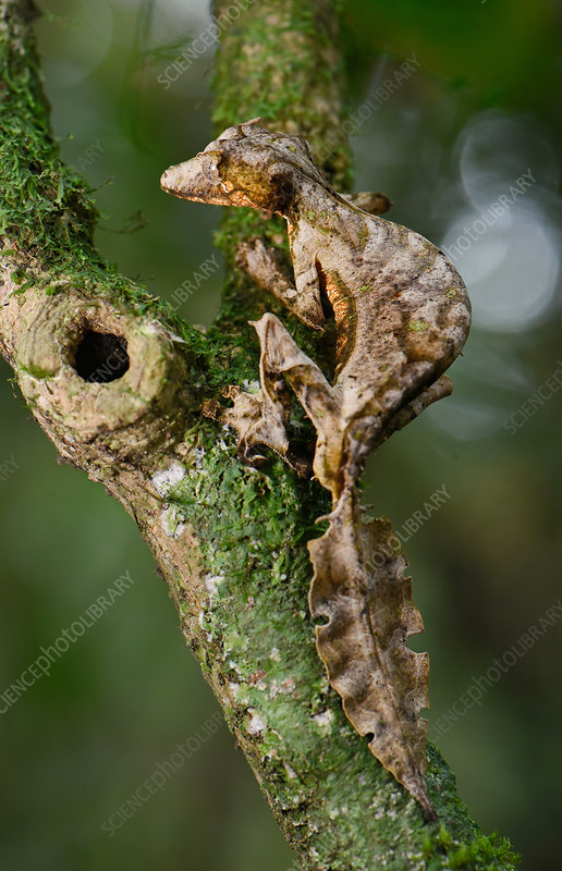 Leaf-tailed Gecko