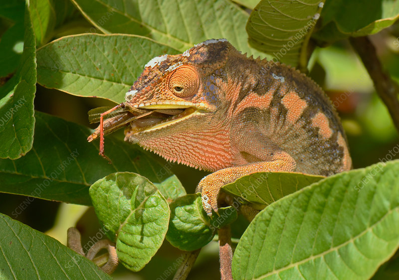 Panther Chameleon Eating