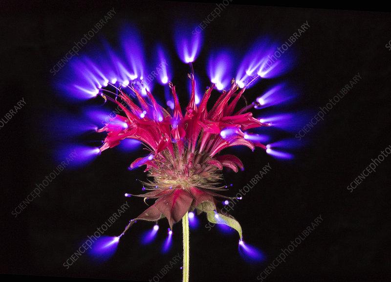 Corona Discharge of a Bee Balm Flower