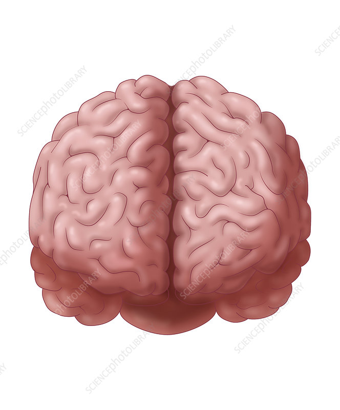 Brain, Frontal View, Illustration