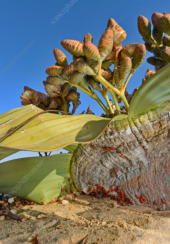 Welwitschia mirabilis in the Namib Desert