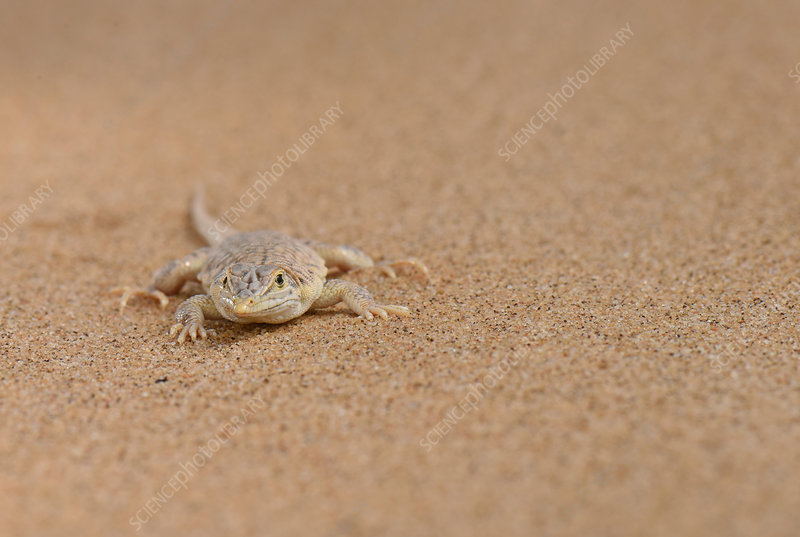 Wedge-Snouted Sand Lizard