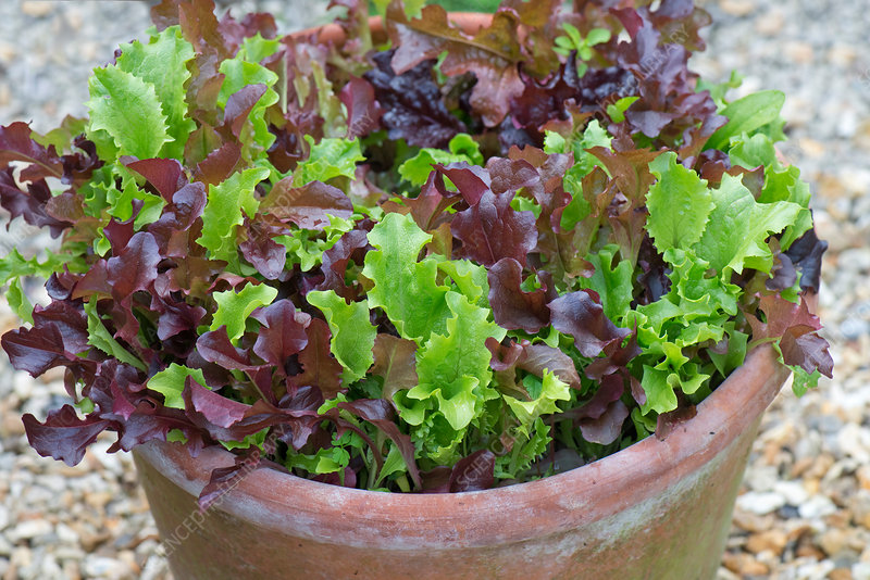 Cut & come again lettuce pot