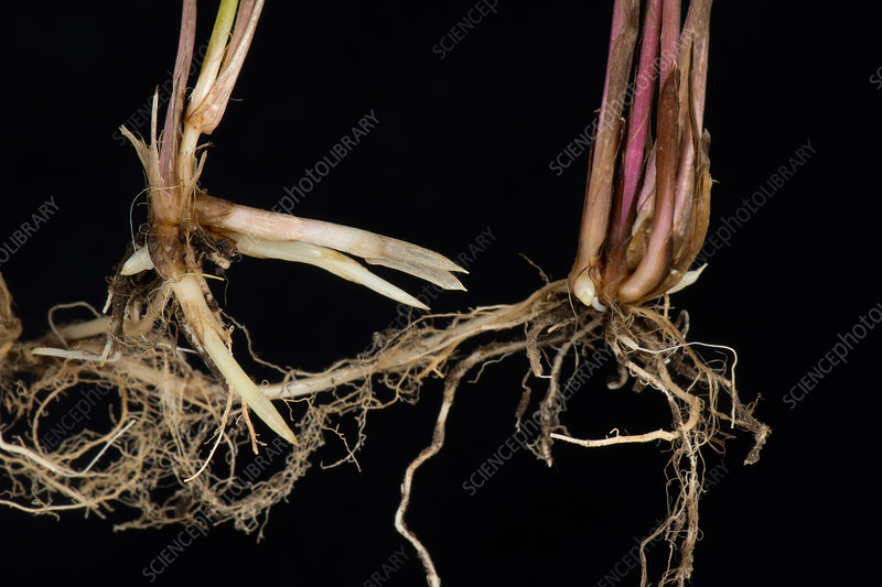 Couch roots