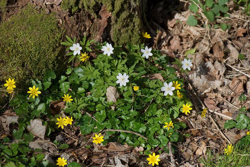 Wood anemone and celandine