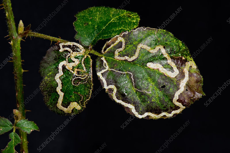 Bramble leaf mines