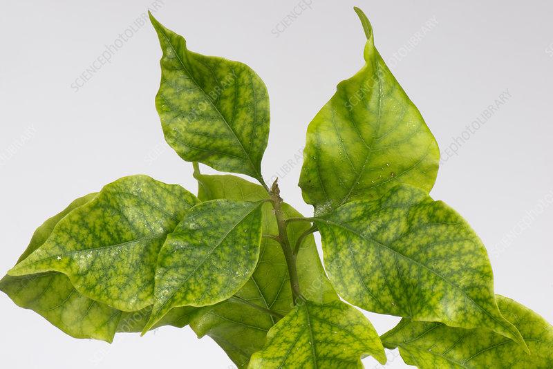 Iron deficiency Bougainvillea