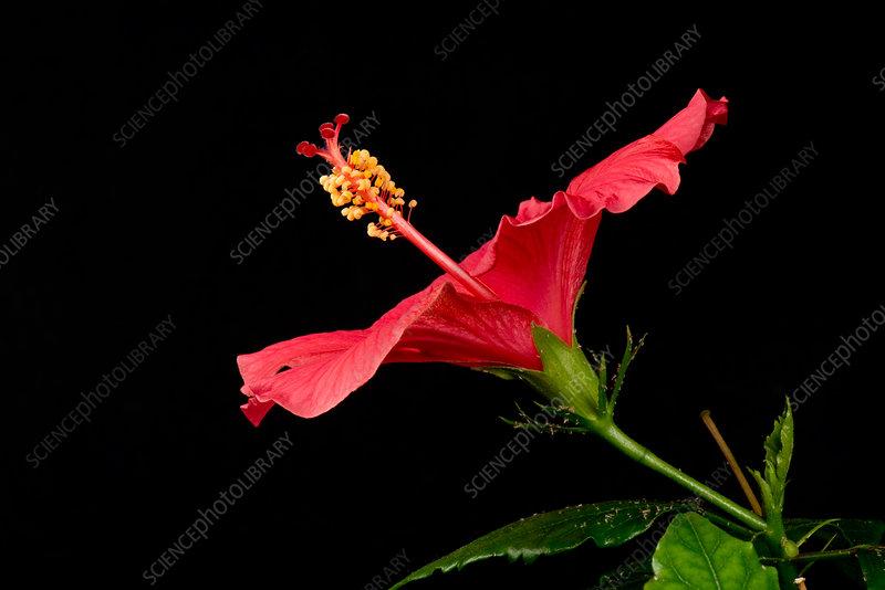 Hibiscus flower opening