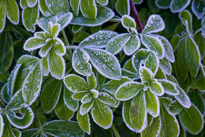 Frost on Choisya leaves