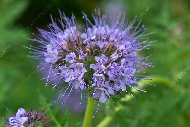 Phacelia tanacetifolia flower