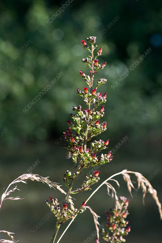 Common figwort flower