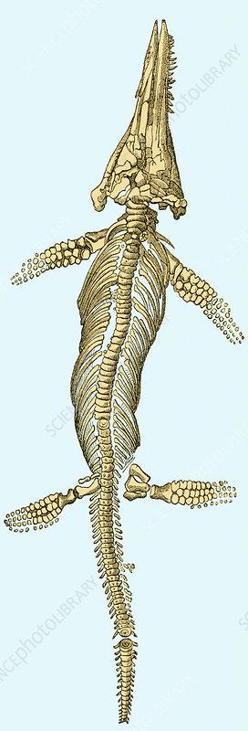 Ichthyosaur Fossil, Illustration