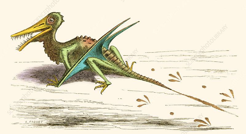 Rhamphorhynchus, Illustration