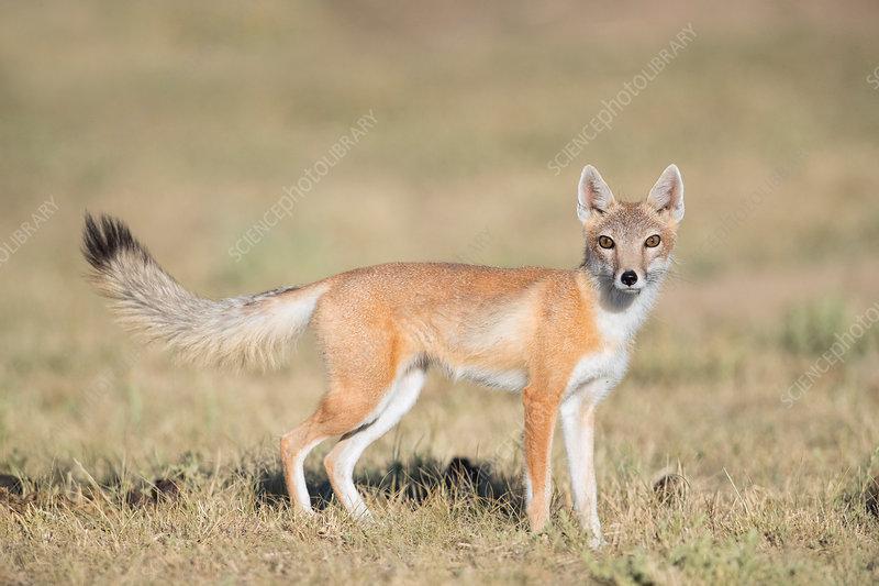 Adult Swift Fox