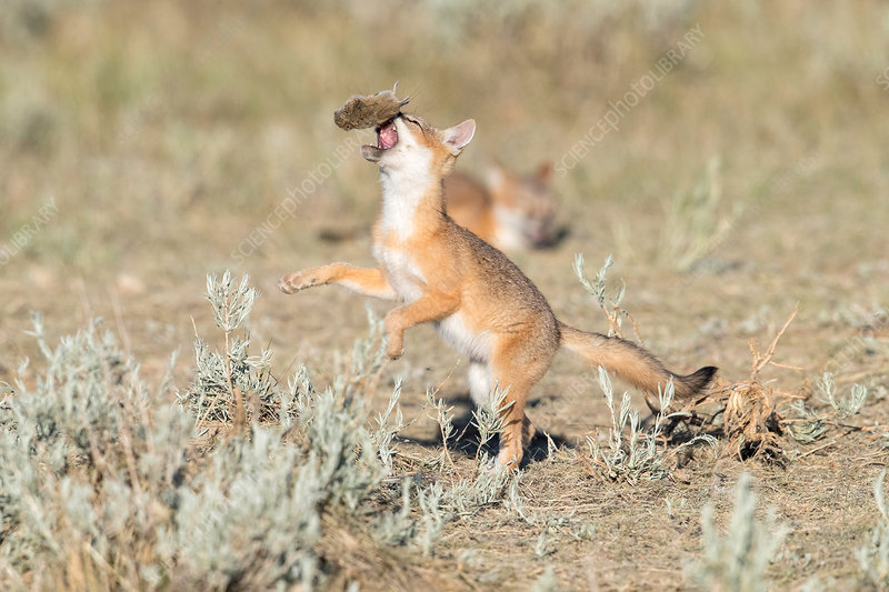 Swift fox playing with prey