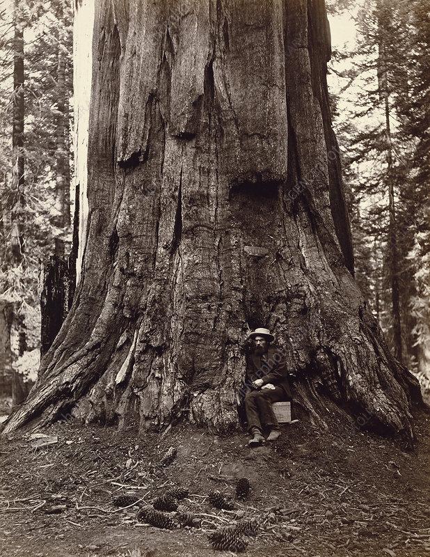 Eadweard Muybridge and General Grant Tree, c. 1864