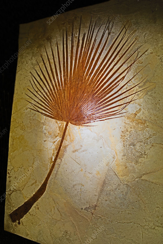 Palm Tree Frond Fossil