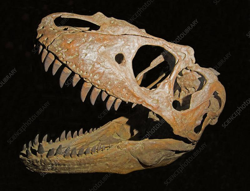 Teratophoncus Curriei Skull