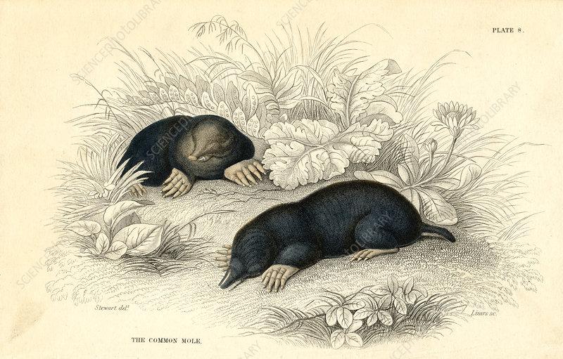 The common cole, 1828