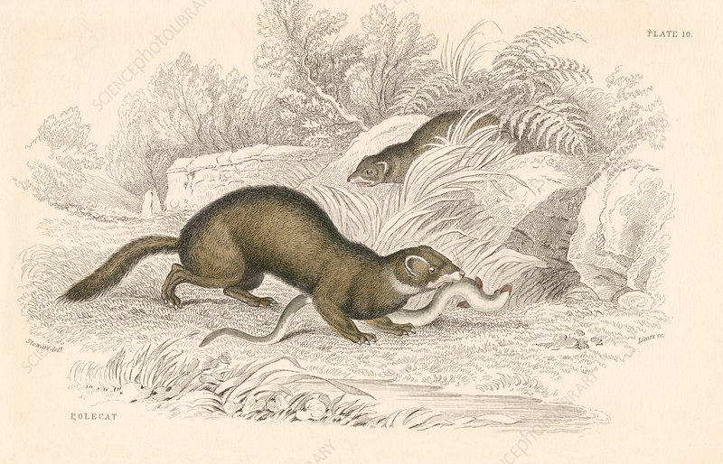 Polecat, member of the weasel family, 1828