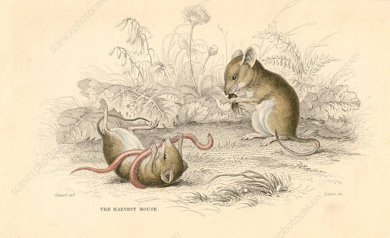 Harvest mouse of the Old World, 1828