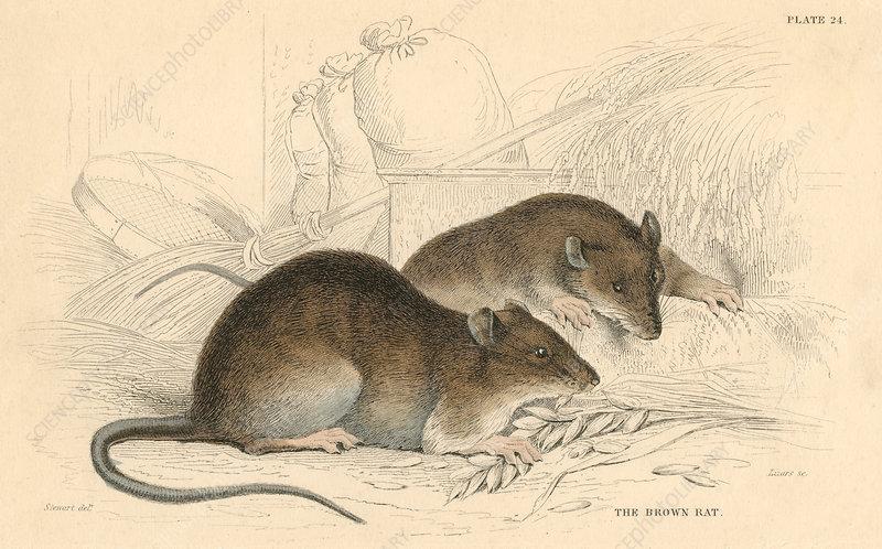 Brown rat, 1828