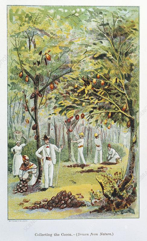 Collecting cocoa, Venezuela, 1892