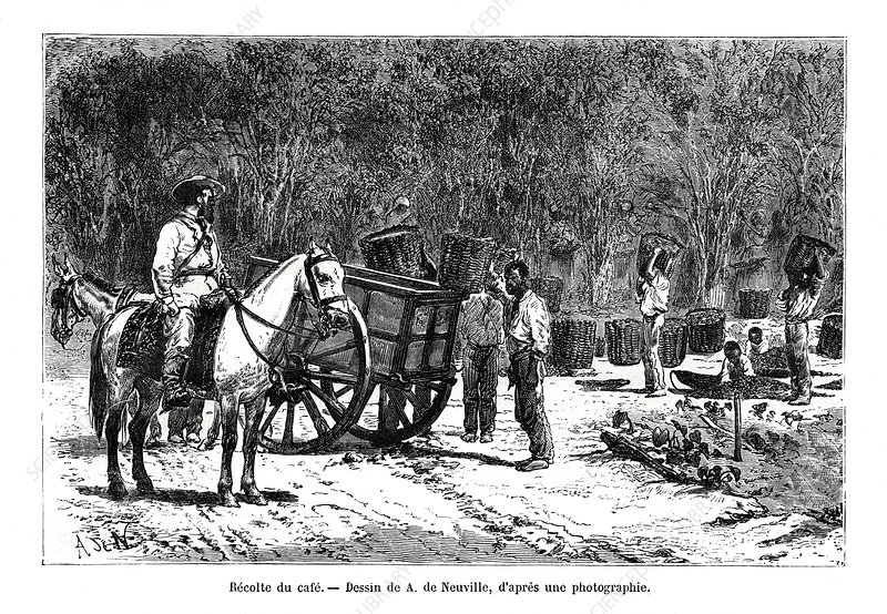 Harvesting the coffee, Brazil, 19th century