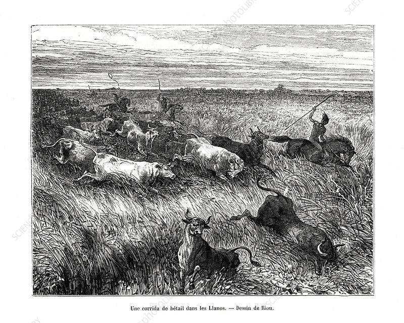 Livestock, Los Llanos, Venezuela, 19th century