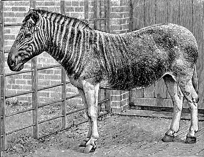Quagga mare in London Zoo, c1870