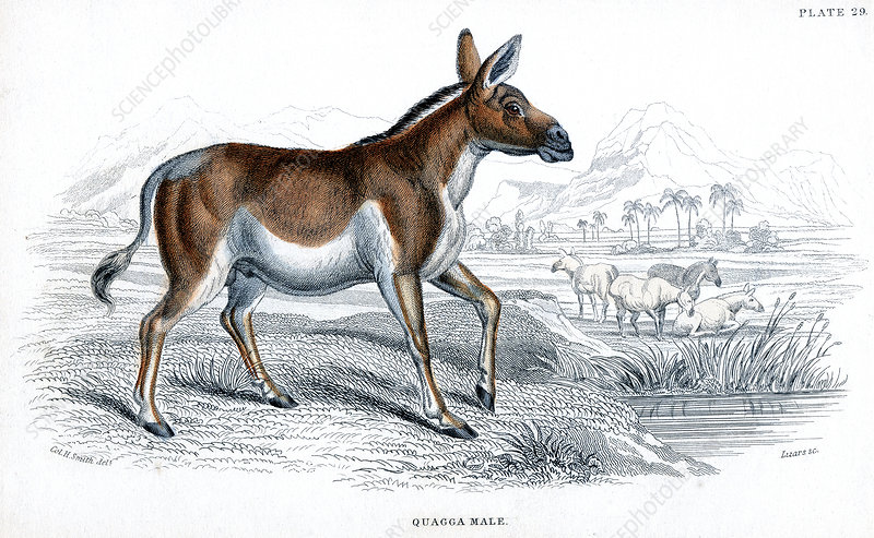 Engraving of a Quagga, c1830