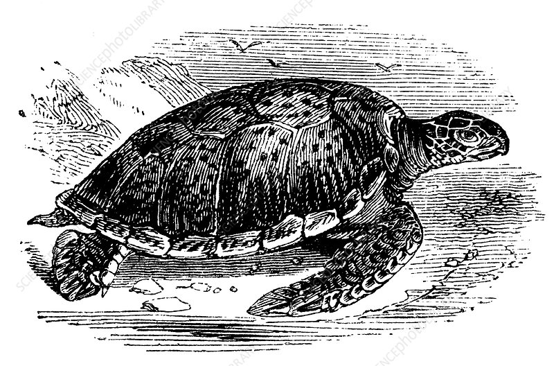 Green Turtle, c1890