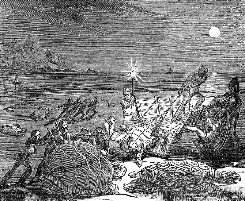 Green turtles and Loggerhead turtles captured in Cuba, 1832