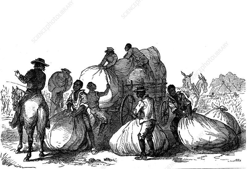 Negro labour loading sacks of cotton on cart, Southern USA