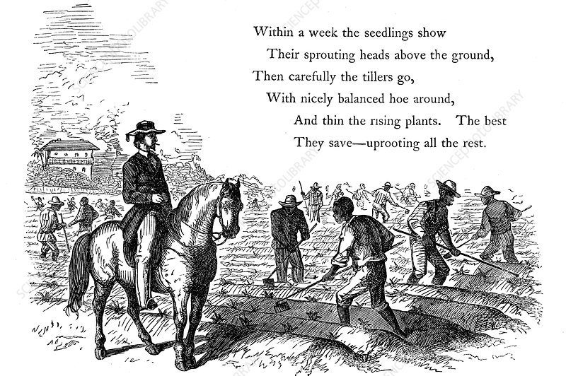 Negro labourers weeding cotton, Southern states of USA